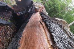 Brandspuren am gefällten Baum