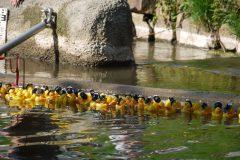 Entenrennen auf der Gesprenz