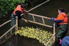 Start der Enten beim Entenrennen 2019
