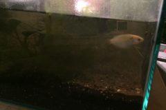 Lebende Fische im Aquarium