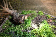 Orkan Sabine - Abgebrochener Baum